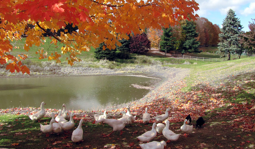 ducks_pond