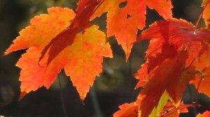 orange_leaf