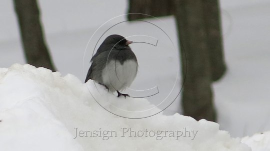junco_heart_hi_res2