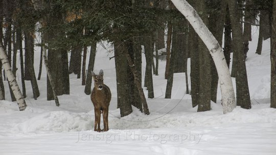 Deer on edge of woods