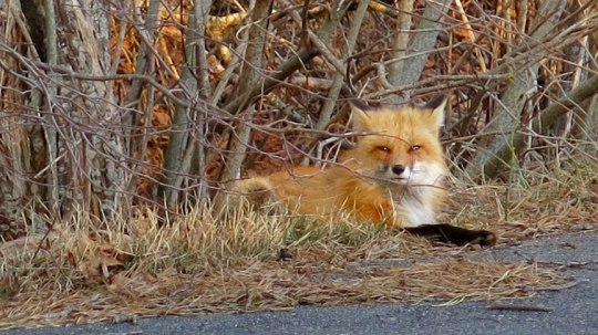 Red Fox on edge of woods