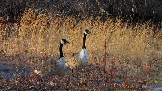 Couple of Geese