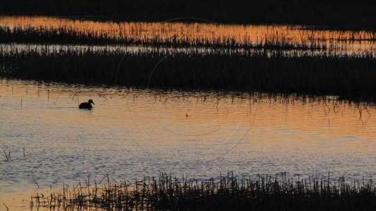 Solitary duck at the moors