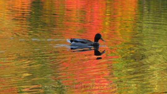 Duck in reflective red and gold water