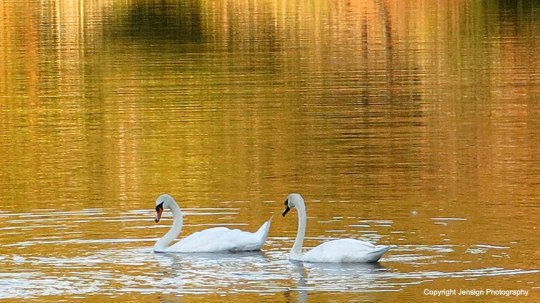 Swans swimming in gold reflection