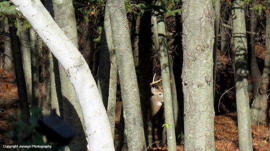 Young buck in the woods