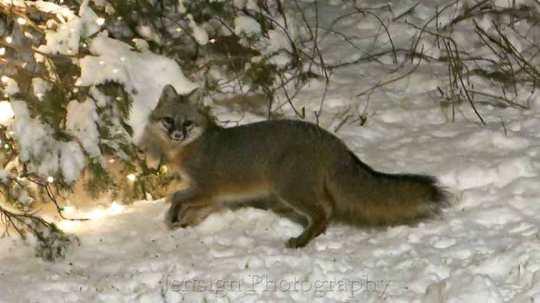 grey_fox_IMG_0500