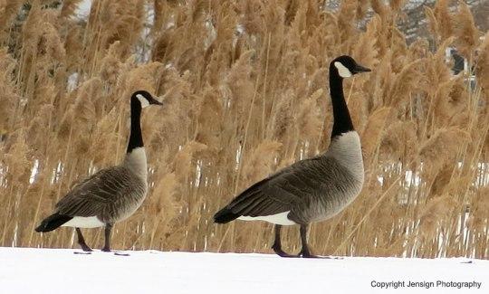 geese_2inarow