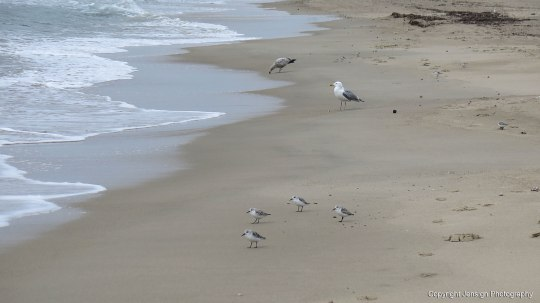 Piping_plovers_gull_IMG_7569