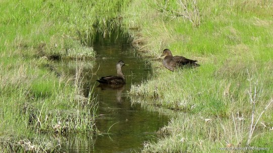 black_ducks_IMG_1257