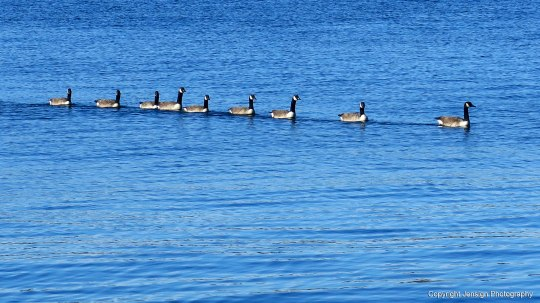 EP_112817_geese_IMG_2426