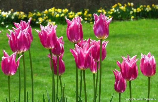 Crane_tulips_IMG_7940